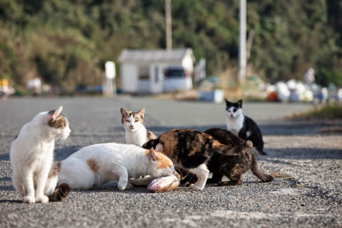 Kedi Adası | Balık Yiyen Kediler