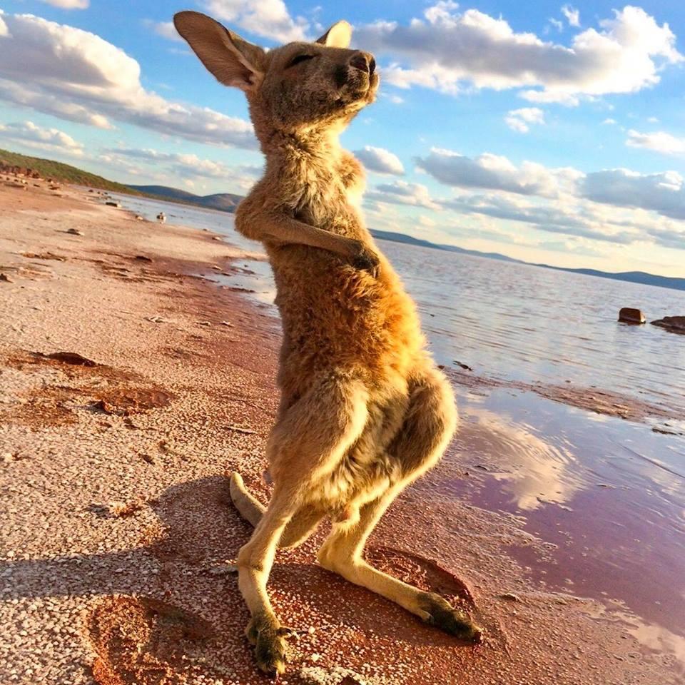 Güneşe Karşı Gerinen Kanguru Fotoğrafı | Güneşe Karşı Gerinen Kanguru