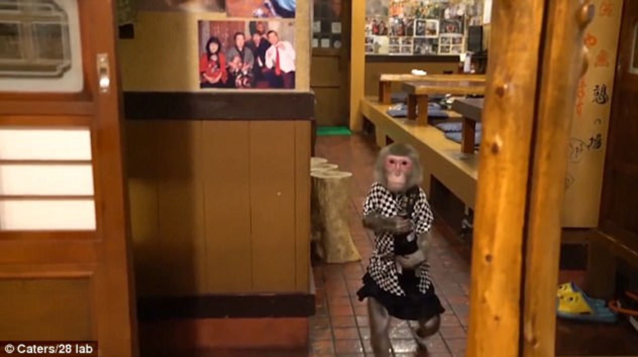 Bu Meyhanede Garson olarak Maymunlar Çalışıyor! | Japonyadaki Garson Maymunlar