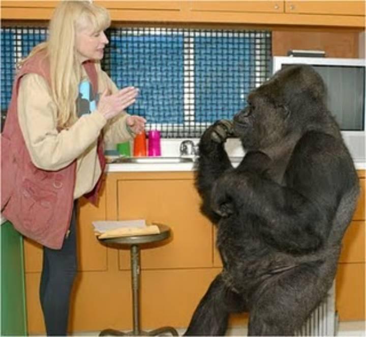 Goril Koko ve Eğitmeni